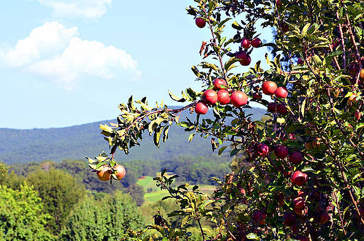 Apples on a Tree by Susan Leggett