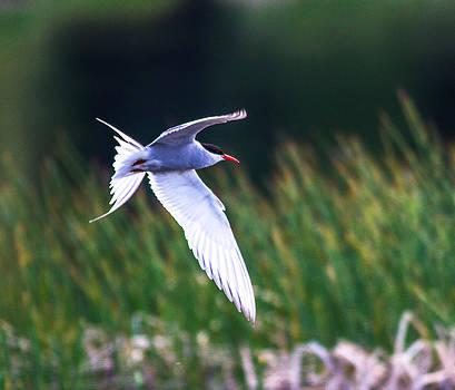 Arctic Tern by Craig Brown