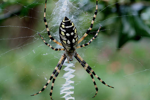 Argiope aurantia by Sean Green