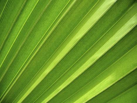 Aruba Palm by Ryan Louis Maccione