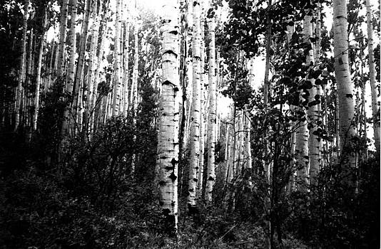 Aspen Grove BW by Bill Kennedy