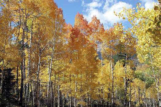 Aspen Grove in Autumn by Larry Small