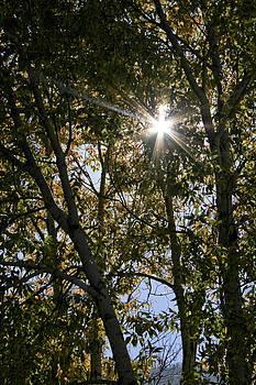 Aspen Sunburst by Marta Alfred