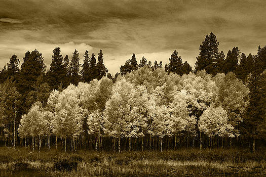 Aspen Trees Rocky Mountain National Park by Daniel Chui