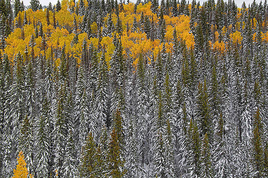 Nathan Mccreery - Aspens and Firs  Cumbres Pass