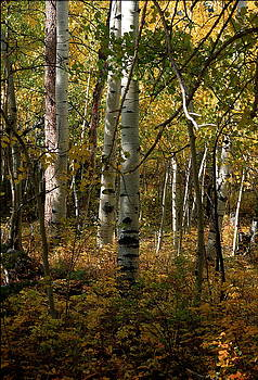 Aspens by Eliot Freed