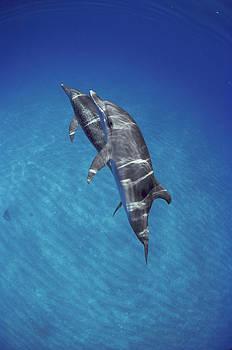 Flip Nicklin - Atlantic Spotted Dolphin Pair Bahamas
