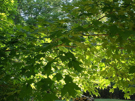 August Leaf Canopy by Suzanne Fenster