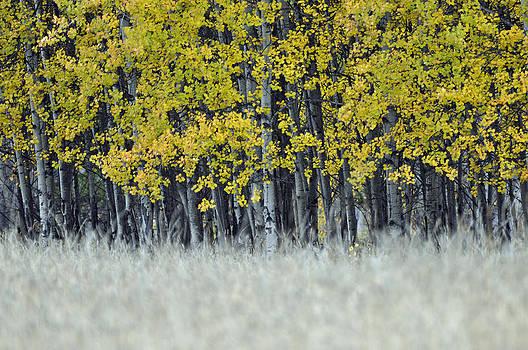 Autumn Aspen Grove Near Glacier National Park by Bruce Gourley