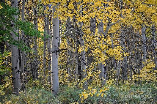Autumn Aspens by D Nigon