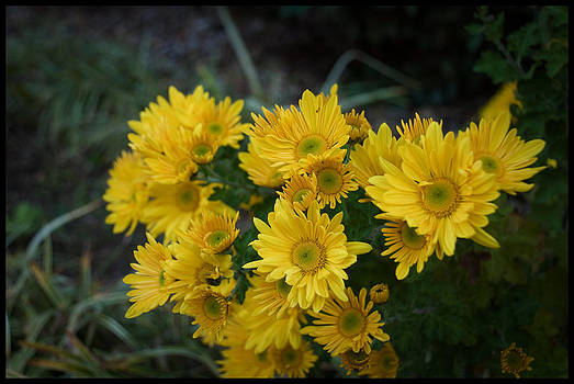 Autumn Blooms chrysanthemums by Kelly Rader