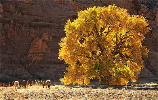 Autumn Gold Canyon de Chelly by George Hodlin