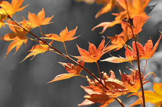 Autumn Leaves  by Sandy Fisher