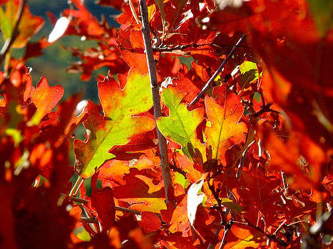 Autumn Oak Leaves by FeVa  Fotos