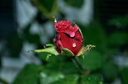 Autumn Rose by Gwen  Dubeau
