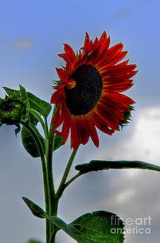 Brenda Giasson - Autumn Sunflower
