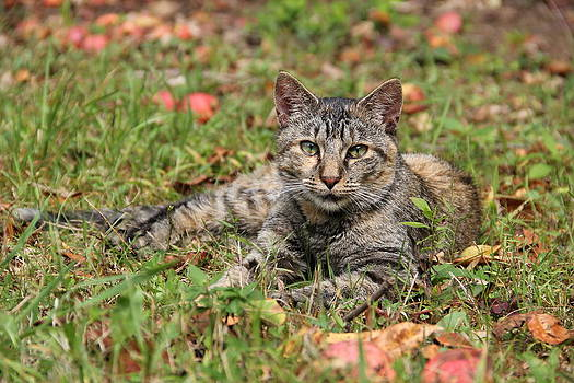 Autumn Tabby Cat by Donna Bosela