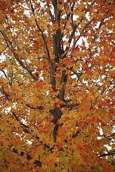 Autumn Tree by Ryan Louis Maccione