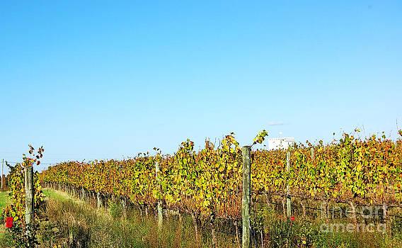 Autumn Vineyard by Inacio Pires