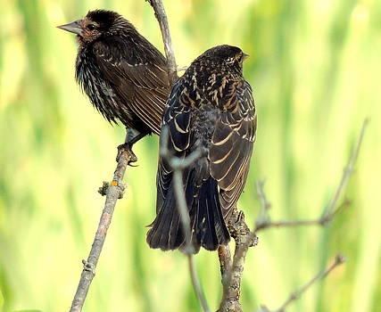 Amalia Jonas - Babies red winged blackbird