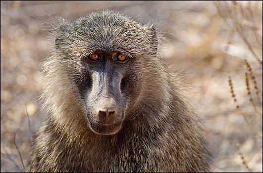 Baboon by Bob Falconer