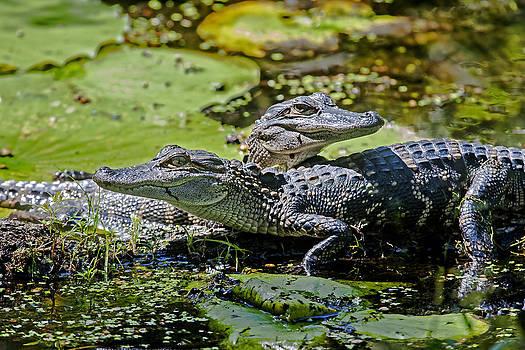 Terry Shoemaker - Baby Alligators