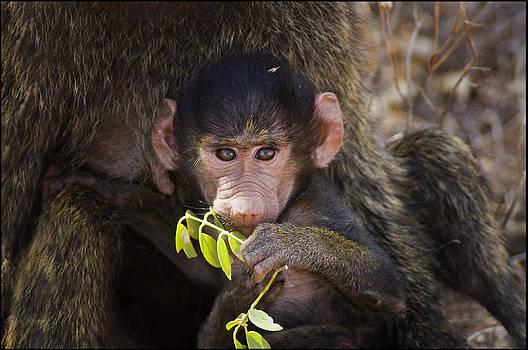 Baby Baboon by Bob Falconer
