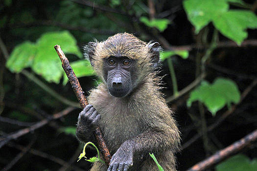 Baby Baboon by Diane Geddes