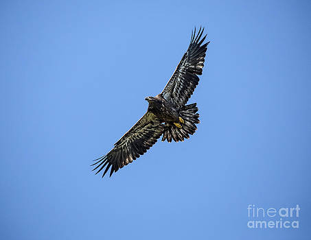 Baby Bald Eagle in Flight by Mark East