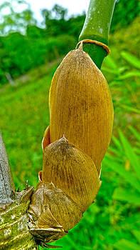 Roy Foos - Baby Bamboo
