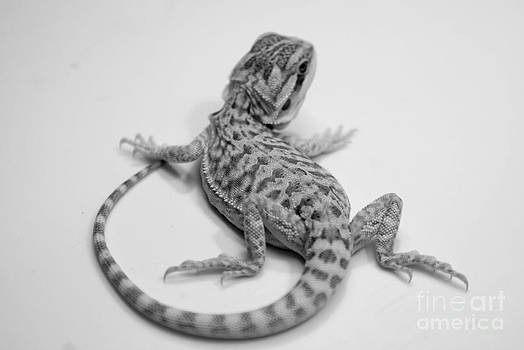 Baby Bearded Dragon by Angela DiPietro