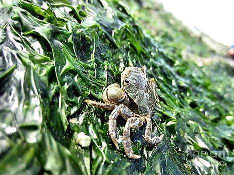 Baby Crab on Seaweed Bed by Shana Blake