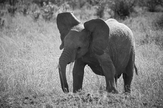 Howard Kennedy - Baby Elephant