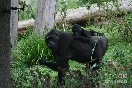 Baby gorilla by Carol Wright