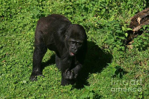 Baby gorilla find own feet by Carol Wright
