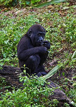 Baby Gorilla by Jason Blalock