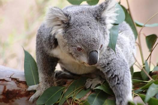 Baby koala by Meeli Sonn