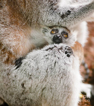 Baby Lemur holds tight to mum by Andrew  Michael