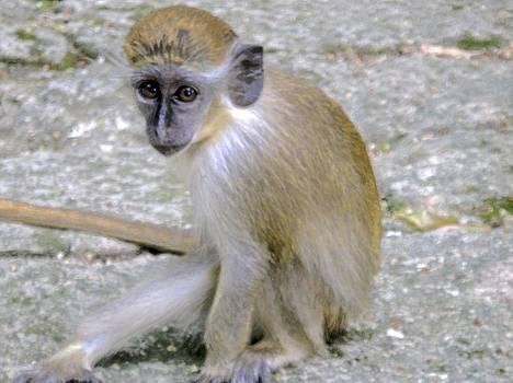 Jennifer Lamanca Kaufman - Baby Monkey