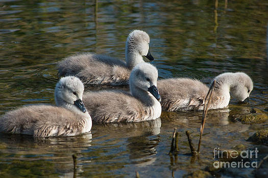 Baby Swans only 4 days old by Andrew  Michael