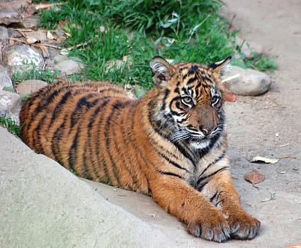 Baby Tiger by Meeli Sonn