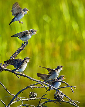 Baby Tree Swallows Feeding #1 by John Stoj