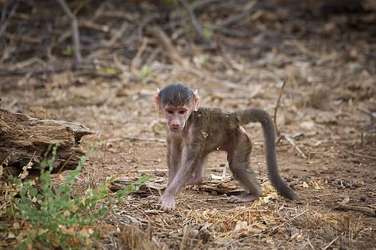 Howard Kennedy - Baby Yellow baboon