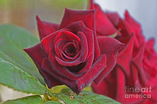 Bacarra Black Prairie Roses by Suze Taylor