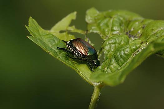 Bachelor Bug by Alan Rutherford