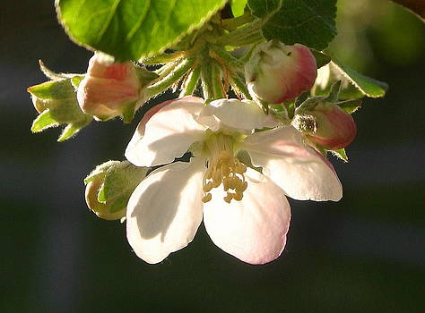 Back lit apple blossom by L J Penrod