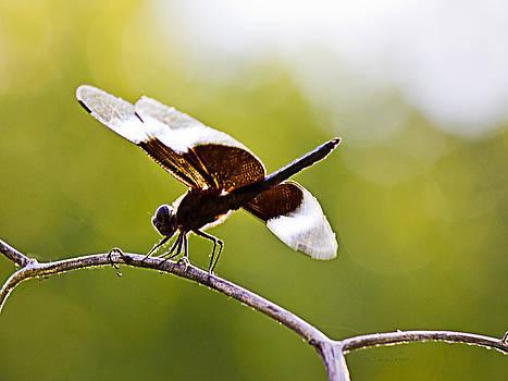 Barry Jones - Backlit Dragonfly