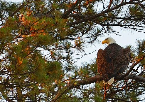 Bald Eagle     Watching Over The Fledgling  by Charles Frieda
