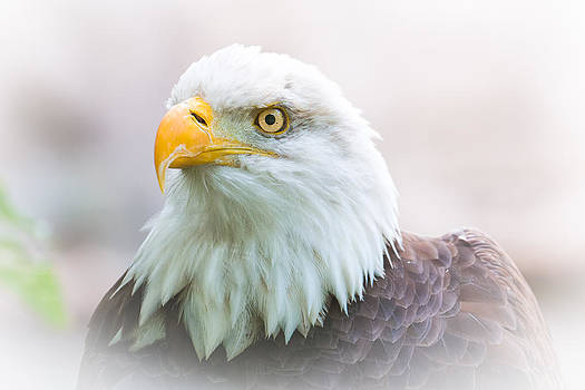 Bald Eagle 6890  by Ken Brodeur