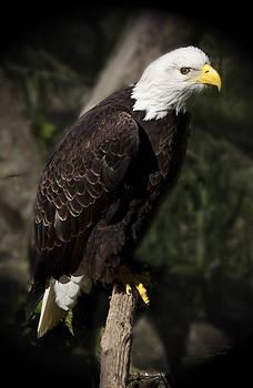 Barbara  White - Bald Eagle
